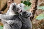 Using drones and AI for koala management